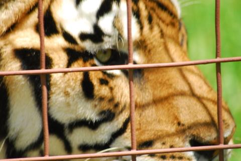 Tiger_Closeup_Saving_Wild_Tigers