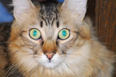 Chase_Closeup Feline Hyperesthesia