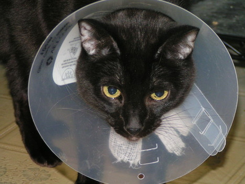Gizmo_Cone Cats Feel Pain