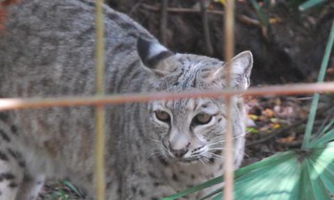 Bobcat_BCR_Cropped_Bobcat_Hunting_Ban