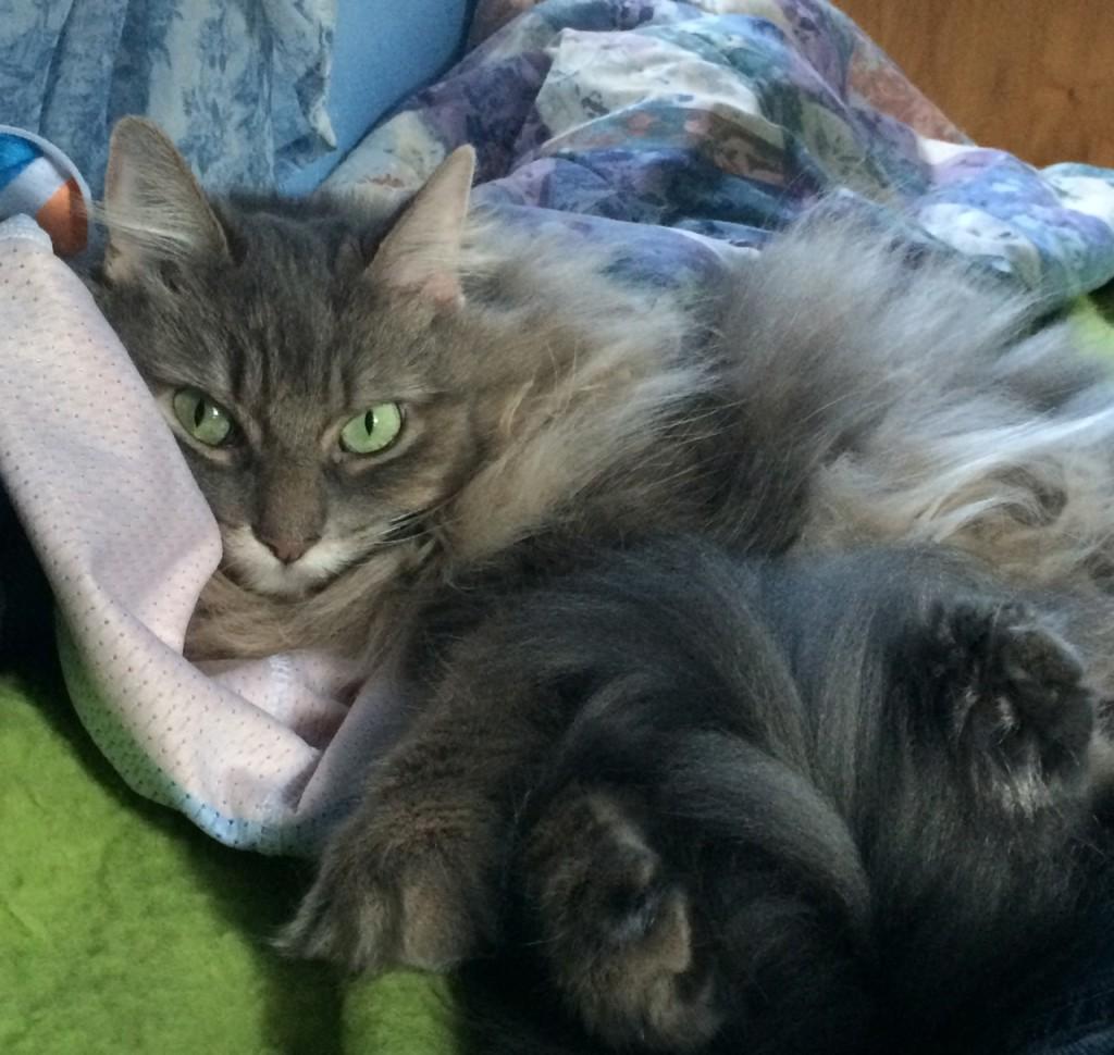 Kali_Jersey_Cats_Don't_Like_Hugs