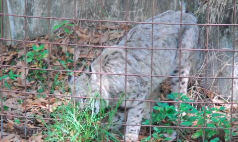 Bobcat_BCR_Cropped_2_Bobcat_Hunting_ban