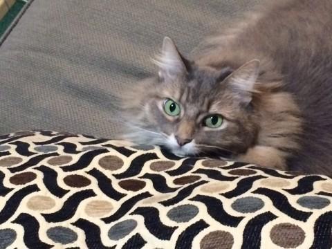 Kali Cute Pillow Cats Live Longer Than Dogs