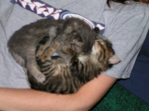 Kali Chase Yin Yang Raising Young Kittens