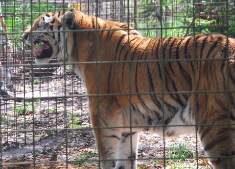 Tiger Stinky Face